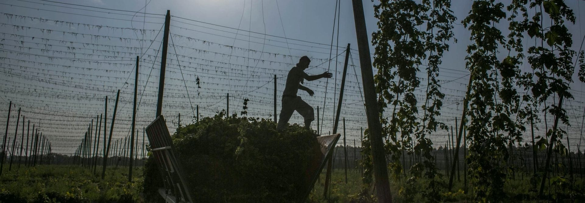 A worker steps on hops during harvesting on August 31, 2015 in Rocov, near Zatec, Czech Republic. Czech Republic is one of the world's largest hops producers, with 4600 hectares of land used for farming the plant. (Photo by Matej Divizna via Getty Images)