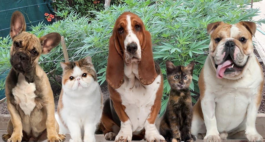 3 dogs and 2 cats on cannanbis farm