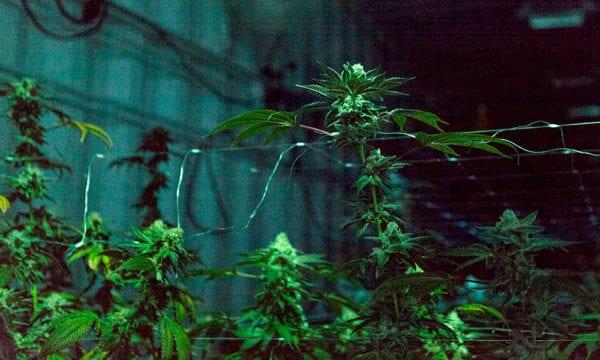 Cannabis-Growing-Indoors-Shadows
