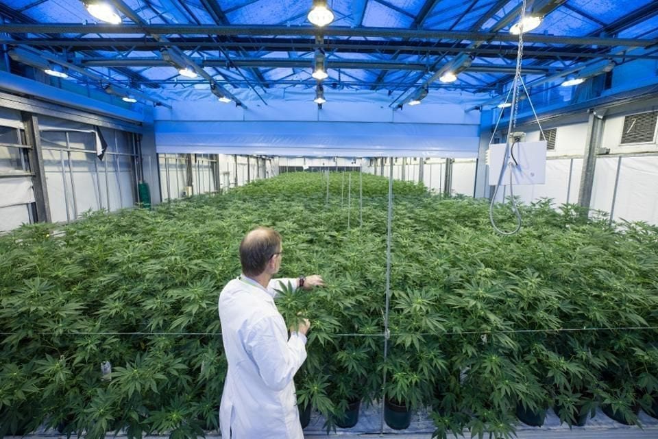 An employee inspects cannabis plants in a greenhouse in the GW Pharmaceuticals Plc facility in Sittingboune, U.K. on Monday, Oct. 29, 2018. The U.K. is the biggest producer of cannabis for medical and scientific purposes, according to the United Nations. Photographer: Jason Alden/Bloomberg© 2018 BLOOMBERG FINANCE LP