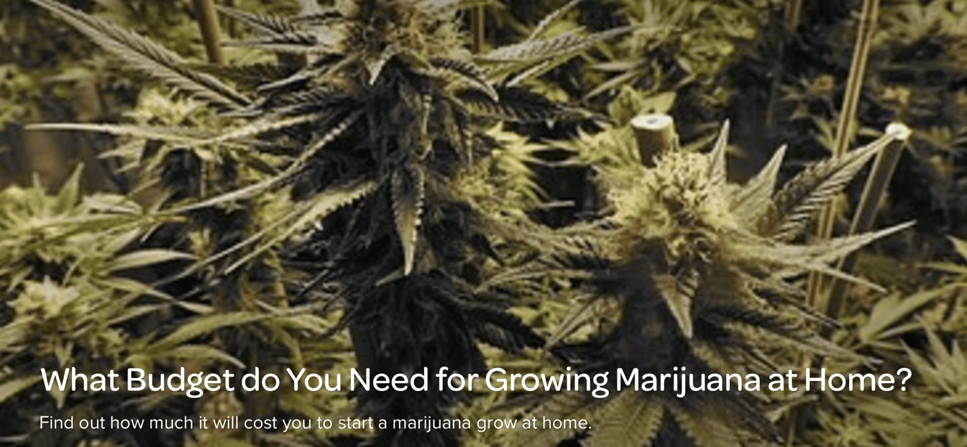 What Budget do You Need for Growing Marijuana at Home?