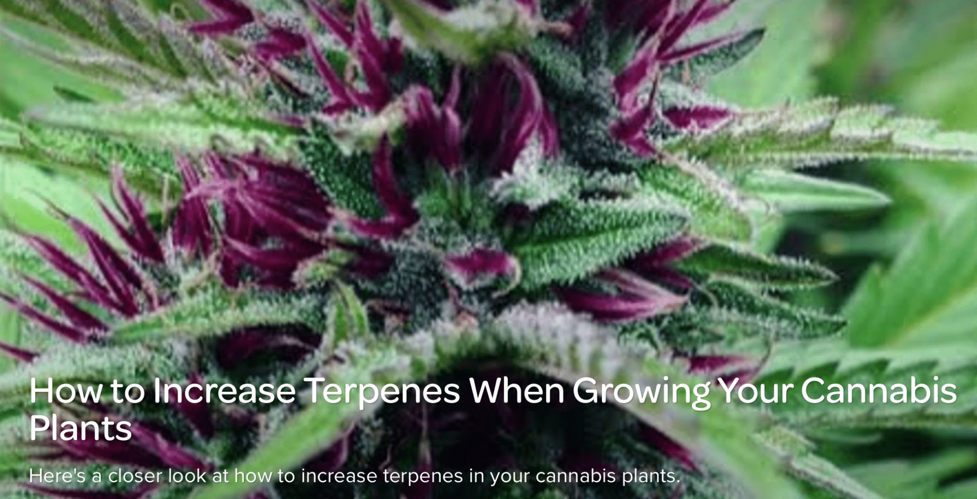 How to Increase Terpenes When Growing Your Cannabis Plants