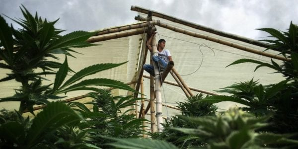 Robeiro climbs to the top of his greenhouse with electric cables that will power light bulbs to keep constant light for the first 3 months of marijuana growth. (Photo by Nicolas Enriquez)